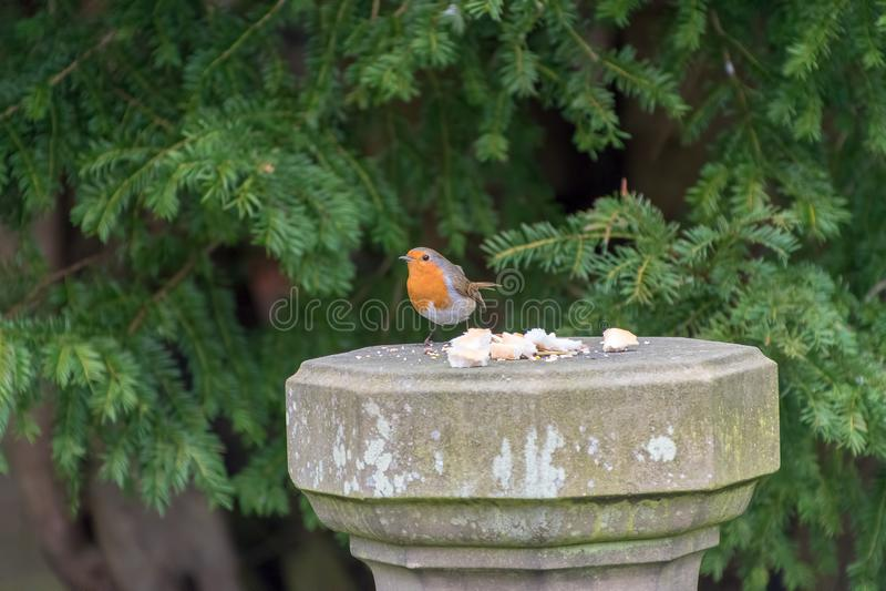 Robin Redbreast bird. Eating bread stock photography