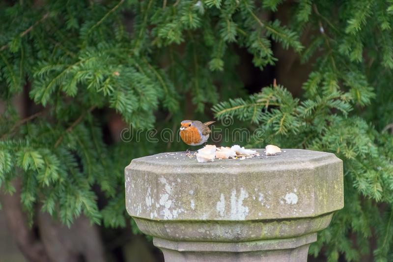 Robin Redbreast bird. Eating bread royalty free stock photos