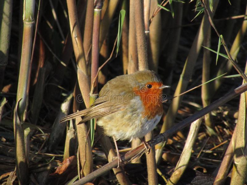 Robin Redbreast bird on a twig. A Robin Redbreast sitting on a twig.This kind of bird is diurnal and, being well-known to British and Irish gardeners, it royalty free stock images
