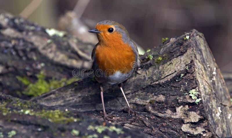 Robin Redbreast. At Blashford Lakes royalty free stock image