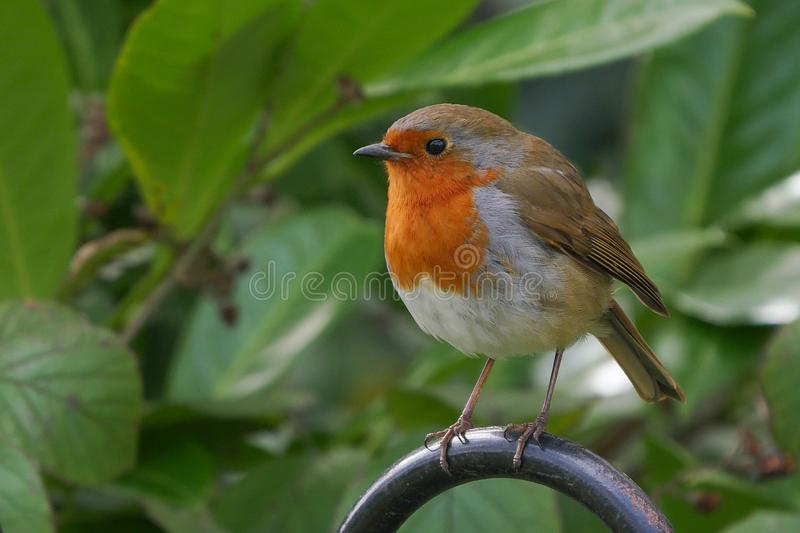 Robin redbreast - cute bird portrait. Perched on a fence with leaves in background royalty free stock photos