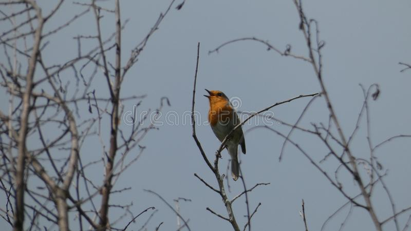 Robin Redbreast, der zu seinen Herzen singt, erfreuen sich im Gl?ttungssonnenuntergang lizenzfreies stockbild