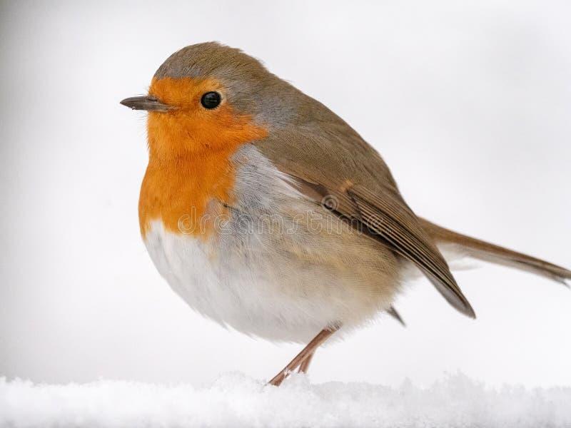 Robin Redbreast en una rama nevosa foto de archivo libre de regalías