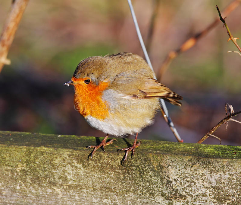 Download Robin Redbreast (Erithacus Rubecula) Stock Image - Image: 12326641