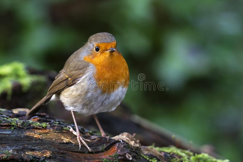 Robin redbreast  Erithacus rubecula. Bird a British garden songbird with a red or orange breast often found on Christmas cards royalty free stock photo