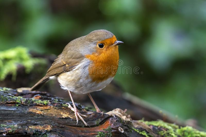 Robin redbreast  Erithacus rubecula. Bird a British garden songbird with a red or orange breast often found on Christmas cards royalty free stock photography