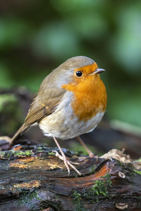 Robin redbreast  Erithacus rubecula. Bird a British garden songbird with a red or orange breast often found on Christmas cards stock photography