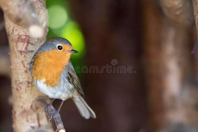 Robin redbreast Erithacus rubecula. European garden bird in close up stock photo