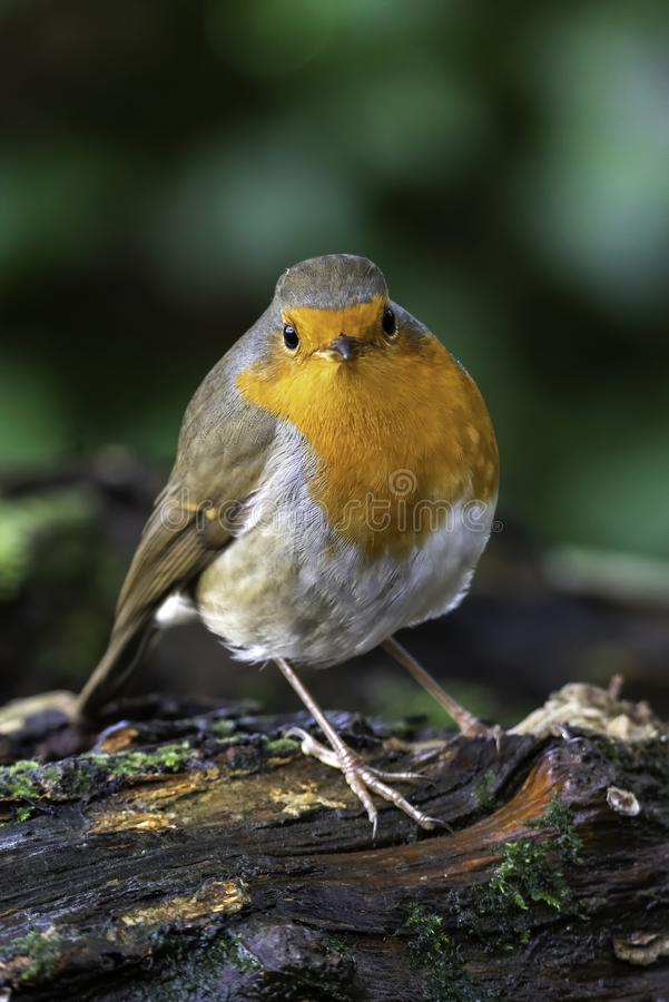 Robin redbreast  Erithacus rubecula. Bird a British garden songbird with a red or orange breast often found on Christmas cards royalty free stock images