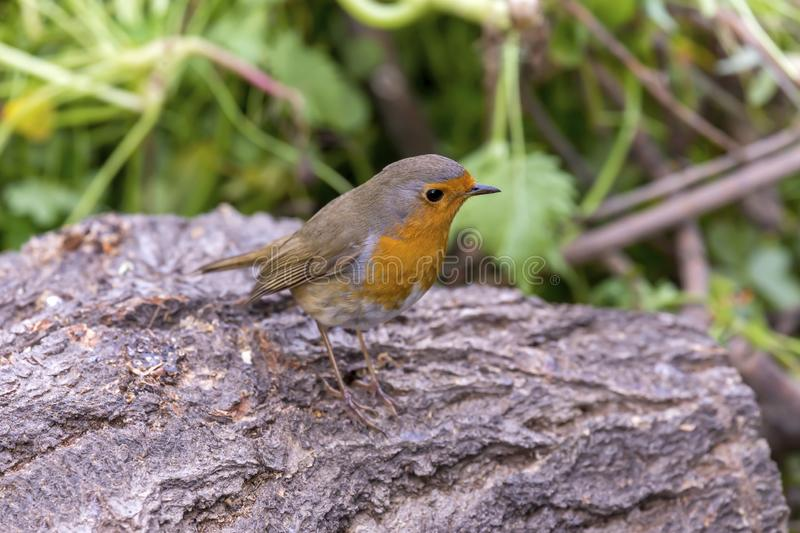 Robin redbreast Erithacus rubecula sitting on a branch in the spring forest. Bright, small robin redbreast Erithacus rubecula sits on a branch in the spring stock photography