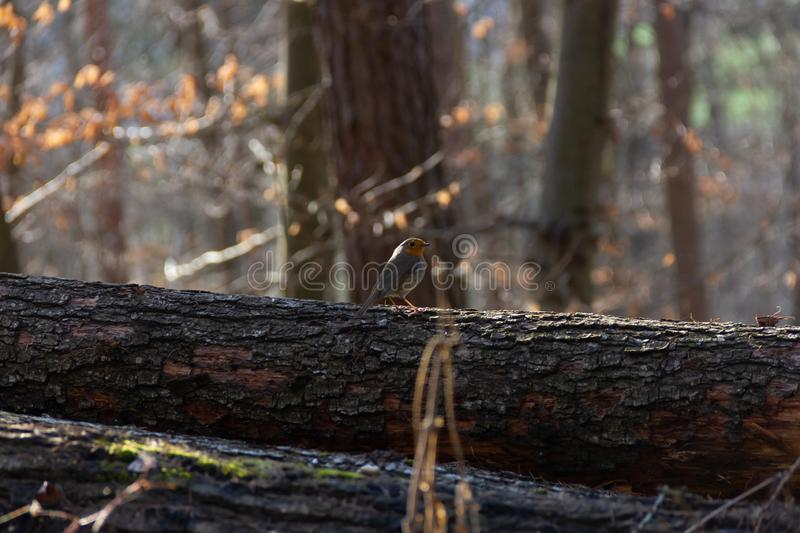 Robin Redbreast in forest. Robin Redbreast perched on a fallen tree in a forest. Normally these birds are really shy but this one stayed in the same spot for stock image