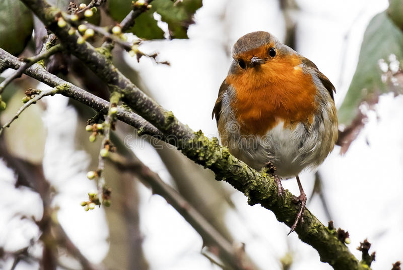Robin Redbreast. A Little Robin Redbreast Watching me from a branch royalty free stock photos
