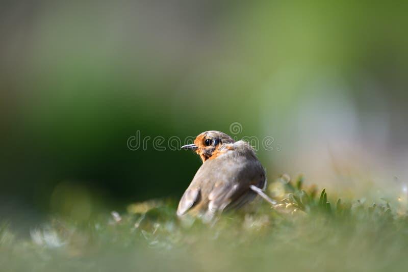 Robin redbreast. Lone robin redbreast sitting on a hedge stock photo