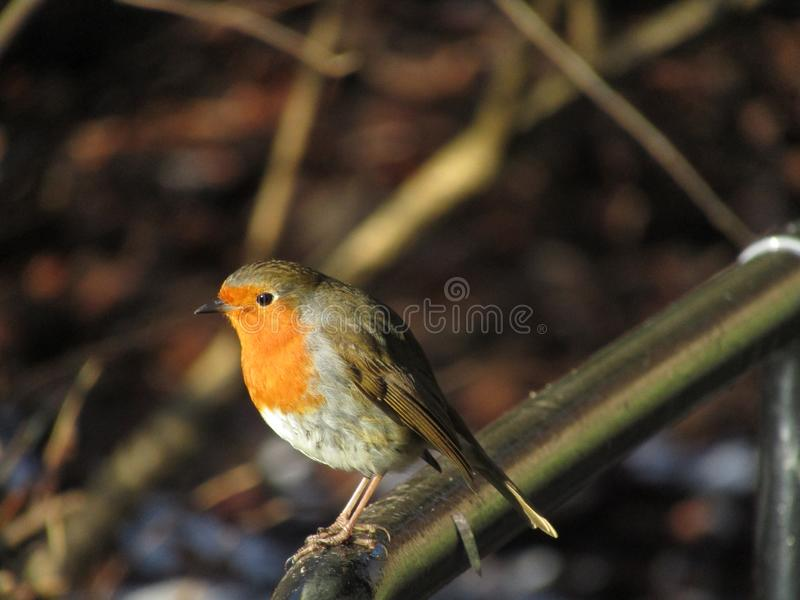 Robin Redbreast on a metal bar. A Robin Redbreast on a metal structure, during midday.This kind of bird is diurnal and, being well-known to British and Irish royalty free stock photography