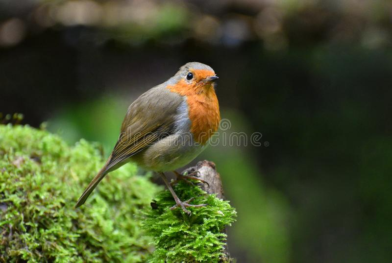 Robin Redbreast on a mossy tree stump. A wild but friendly European robin Erithacus rubecula perched on a mossy stump in a forest in the UK royalty free stock images