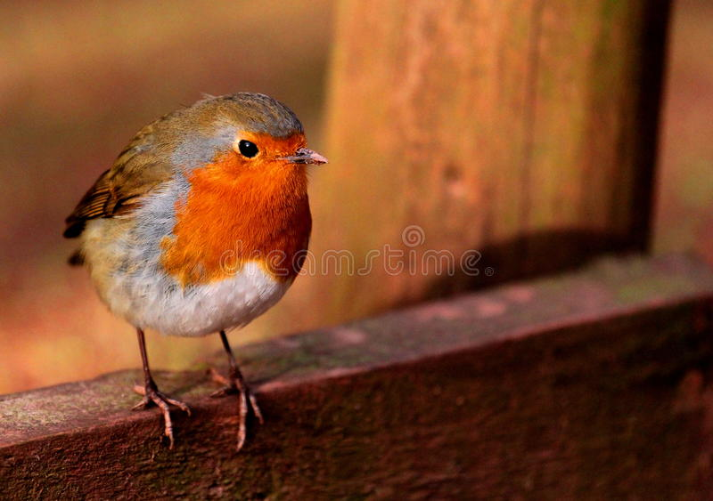 Robin redbreast. A robin redbreast perched on some wood stock images