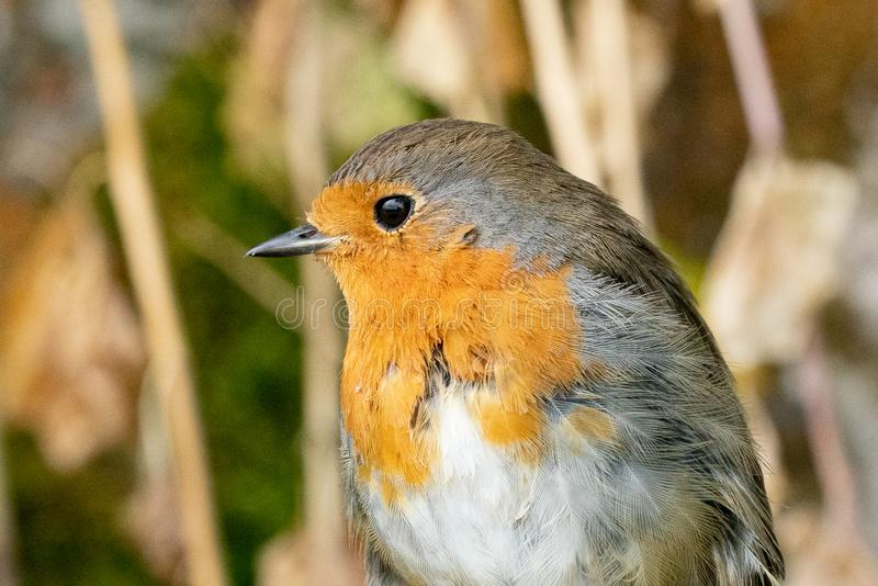 Robin redbreast portrait. A close up portrait of a redbreast robin stock image