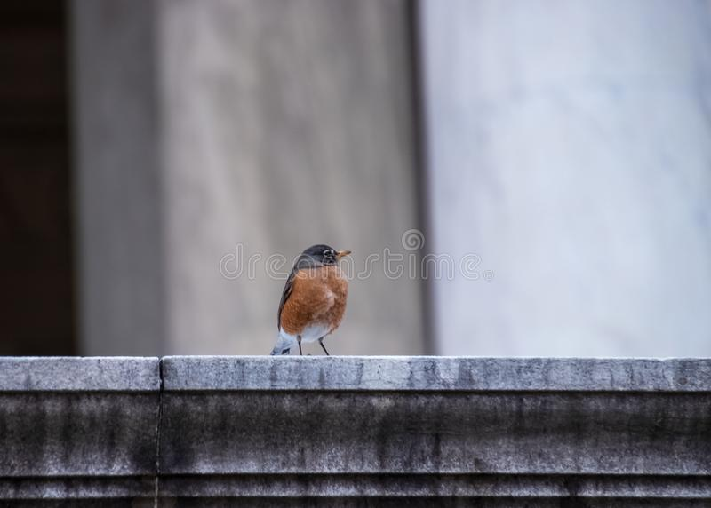 Robin redbreast with puffed up feathers, sitting on a ledge at the Jefferson Memorial. In Washington DC stock photos