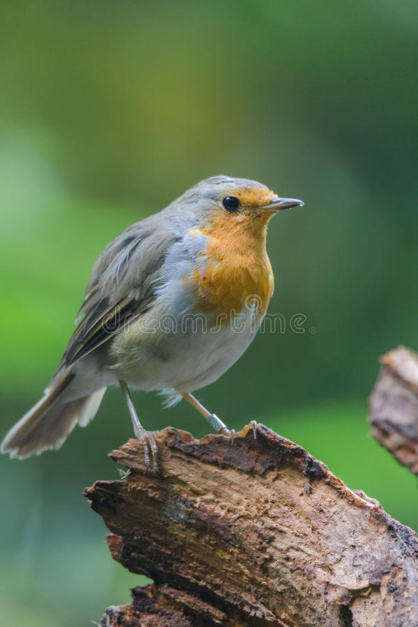 Robin redbreast. Is relaxing on a tree stock photography
