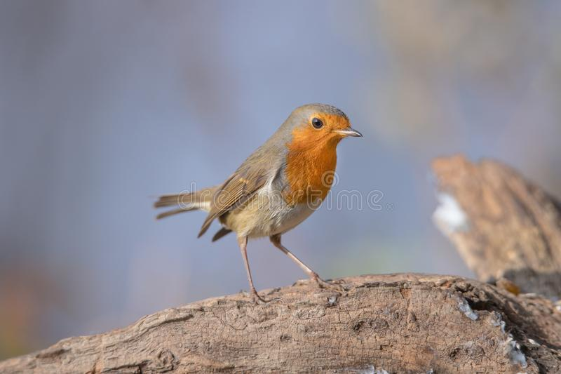 Robin redbreast. Wings speed nature stock photos