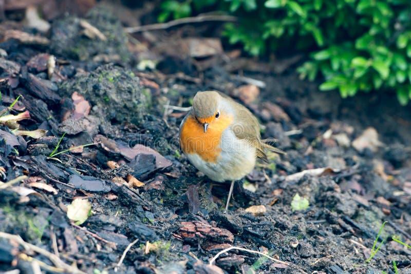 Robin redbreast - rubecula Erithatcus - στον κήπο στοκ εικόνα με δικαίωμα ελεύθερης χρήσης