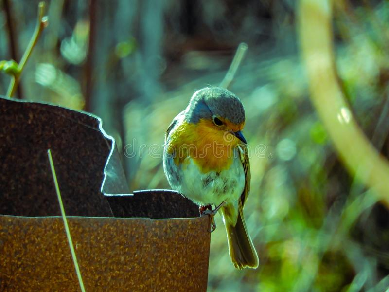 Robin redbreast sits on a rusty barrel. In Swedish nature stock image