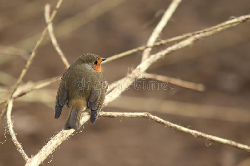 Robin redbreast. Sitting on the branch stock image