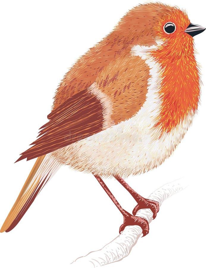 Robin redbreast stock illustration. Illustration of ...