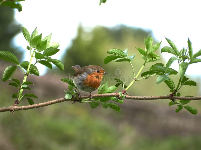 Robin Redbreast on a twig. A Robin Redbreast sitting on a twig surrounded by leaves royalty free stock photos