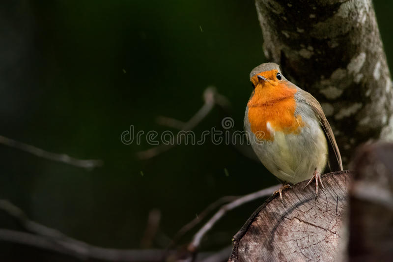 Robin Redbreast. Standing on a branch royalty free stock photos