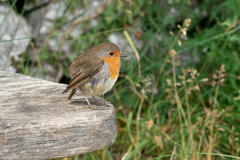 Robin Redbreast image stock
