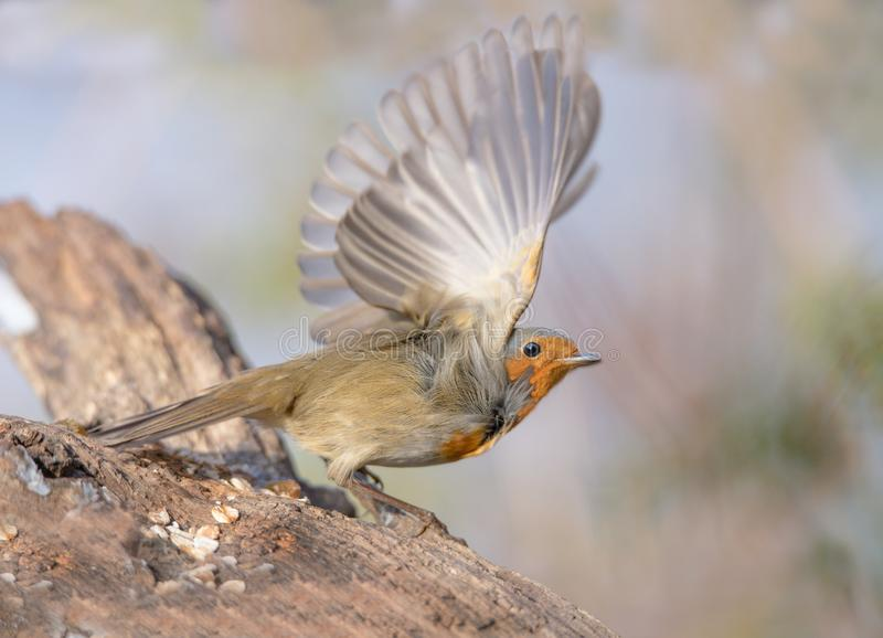 Robin redbreast. Wings speed nature royalty free stock images
