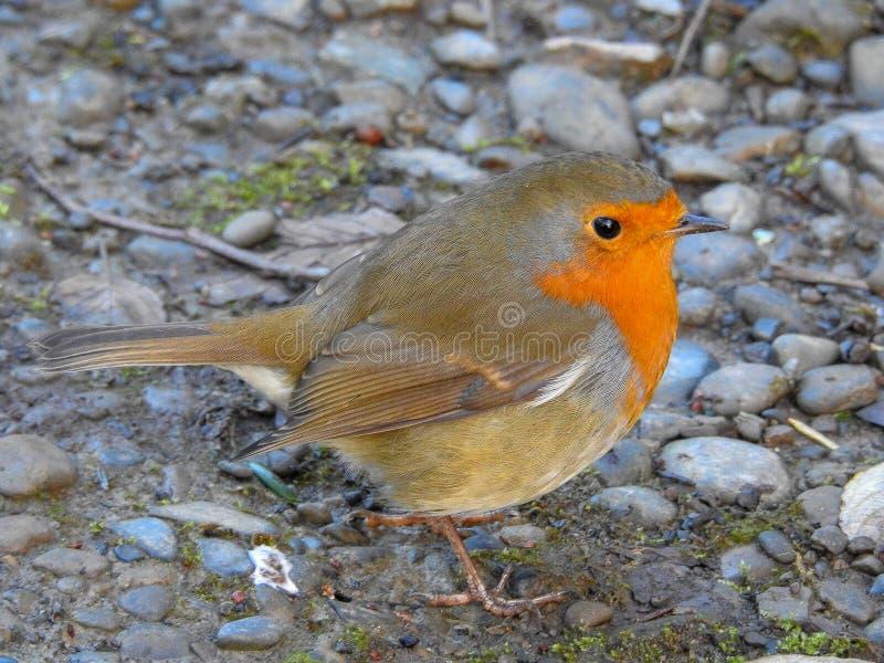 Robin On rojo una cama de rocas foto de archivo
