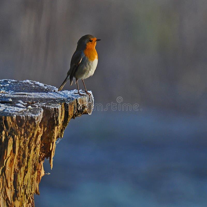 Robin rosso nell'inverno bianco immagine stock libera da diritti