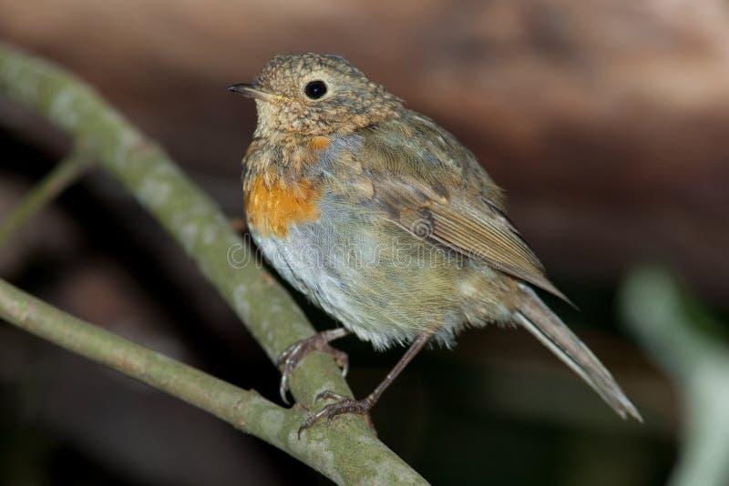 Robin (rubecula d'Erithacus). image stock