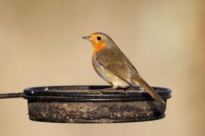 Robin, rubecula d'Erithacus photos stock