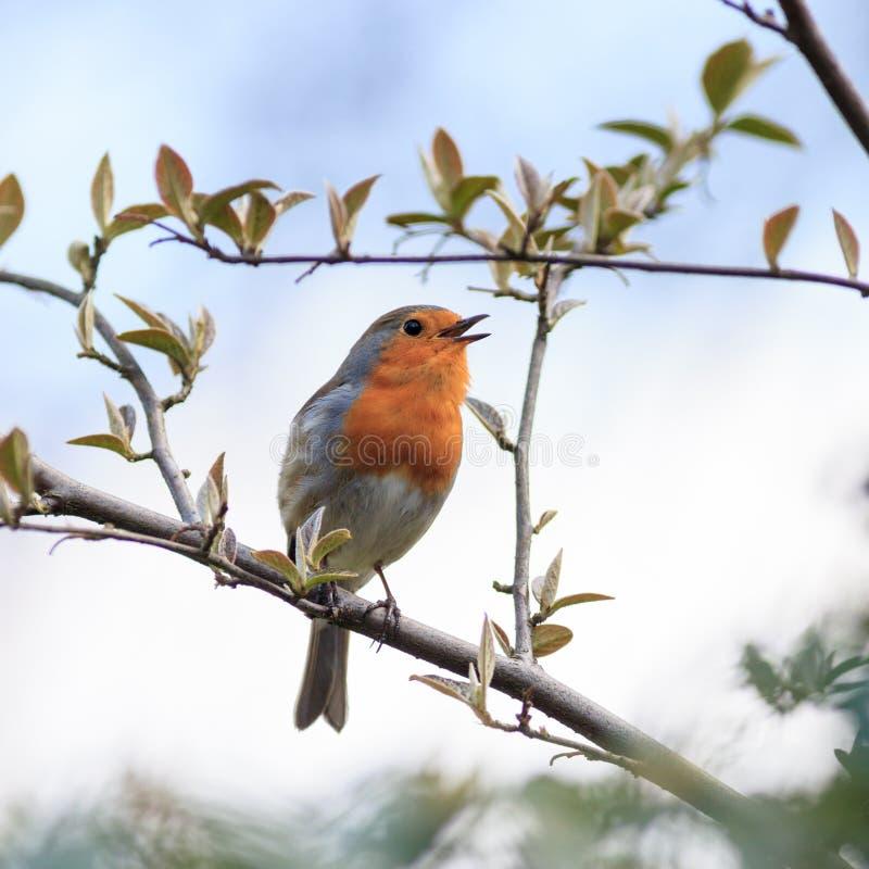 Robin (rubecula d'erithacus) Oiseau sauvage dans un habitat normal photos libres de droits