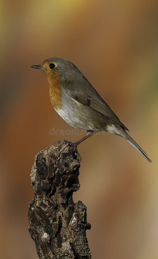 Robin - rubecula del Erithacus, stante su un ramo con fondo arancio immagini stock