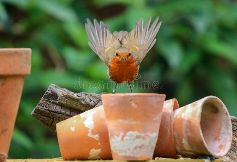 Robin s'est reposé sur des pots d'usine de jardin photographie stock libre de droits