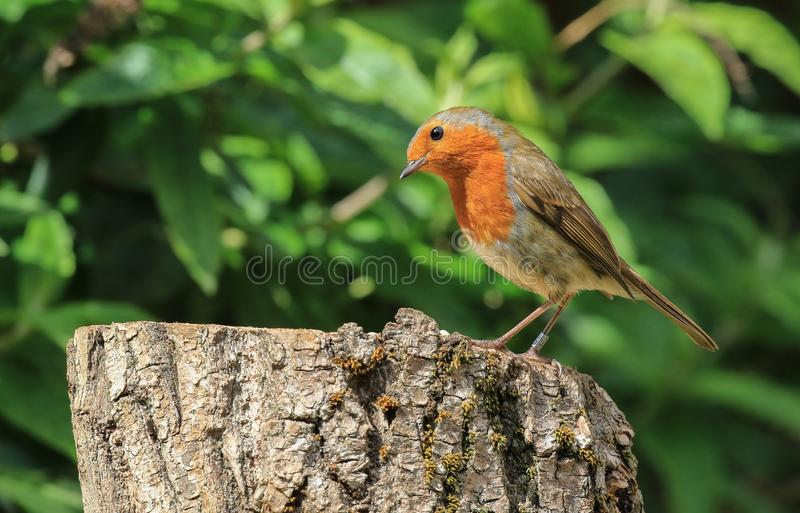 Robin s'est reposé sur un rondin photos libres de droits