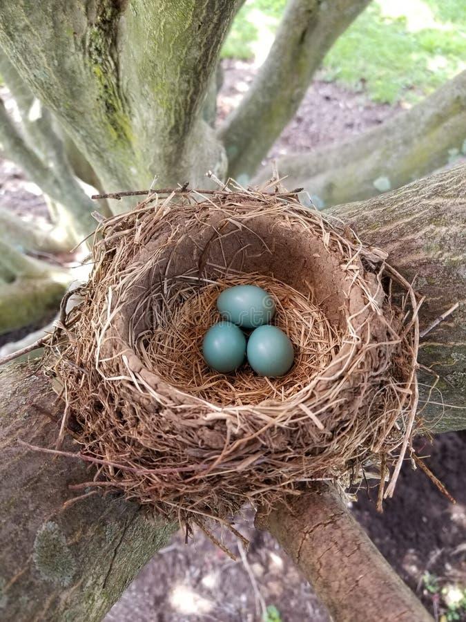Robin& x27; s nest met eieren in natuurlijk licht royalty-vrije stock fotografie