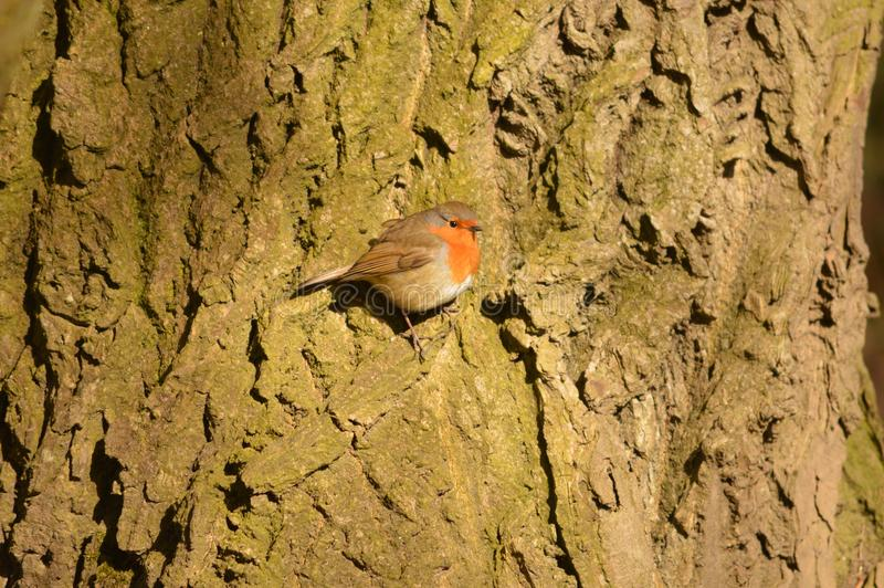 A Robin sat on the bark of a tree royalty free stock photo