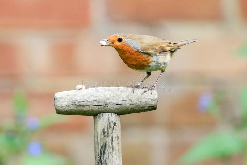 Robin sat on a garden spade handle royalty free stock photo