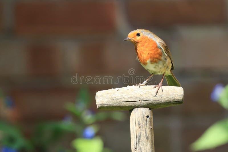 Robin sat on a garden spade handle stock image