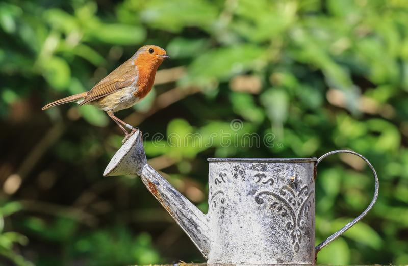 Robin sat on a watering can royalty free stock images