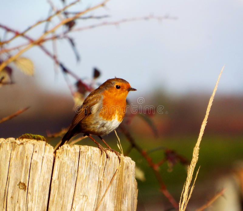 Robin se reposant photographie stock