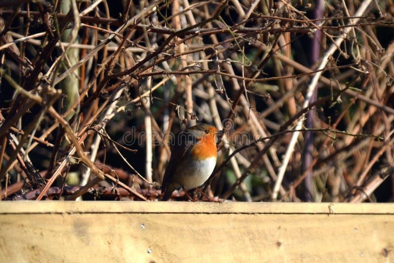 Robin se reposant sur une barrière photographie stock libre de droits