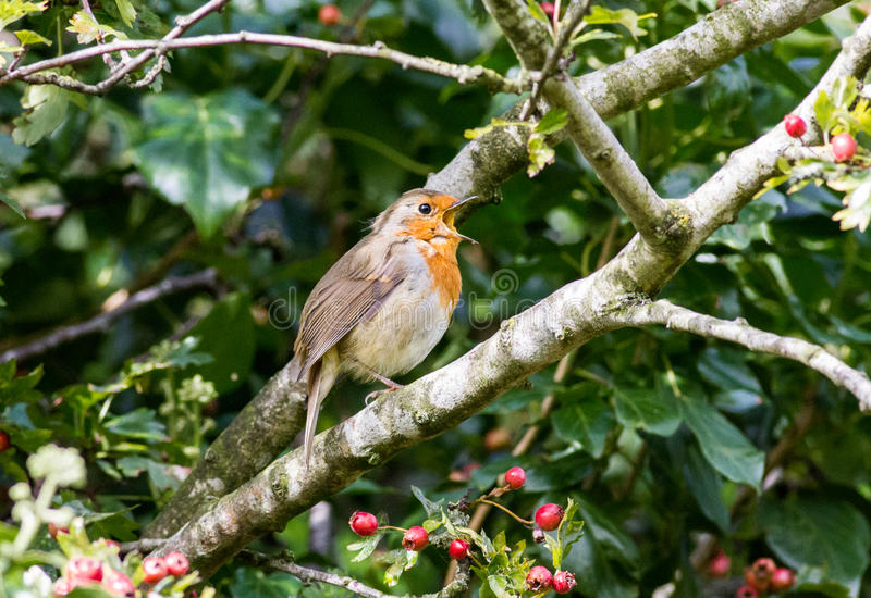 Robin singing with red berries stock image