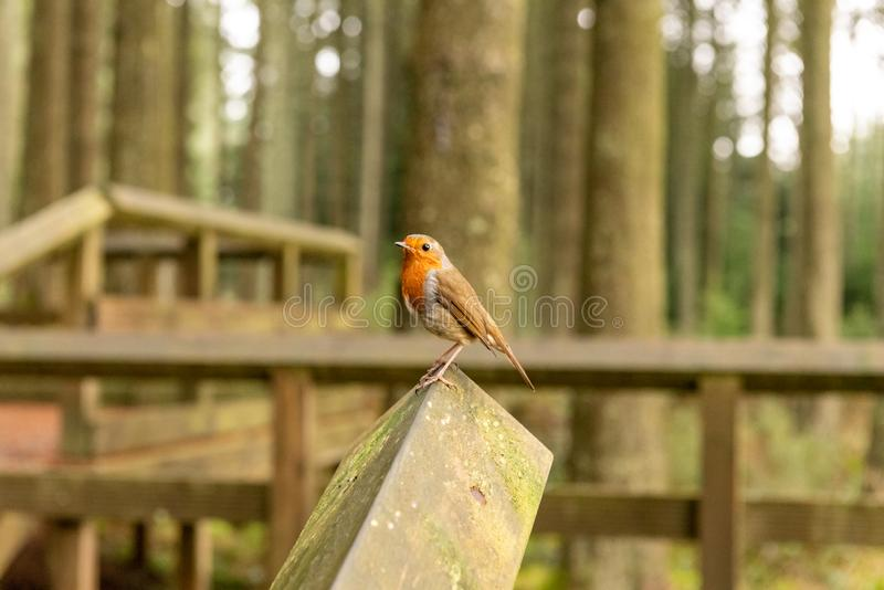 Robin sitting on a wooden bannister royalty free stock photography