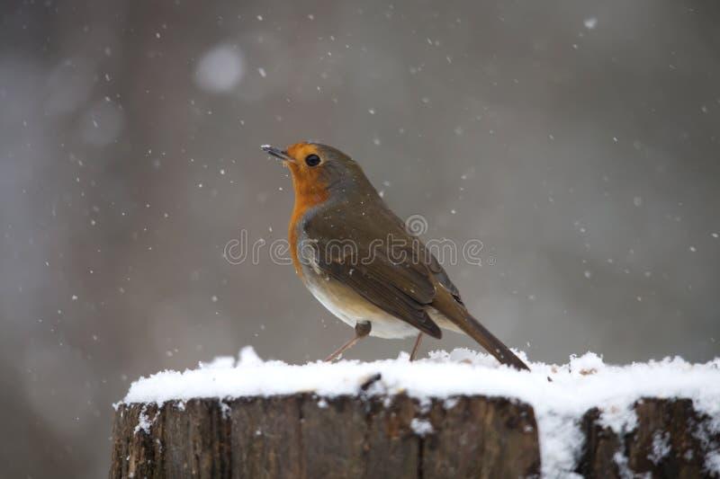 Robin in sneeuw stock afbeelding